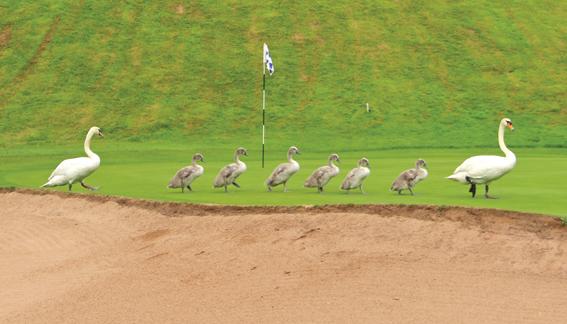 Swans walk