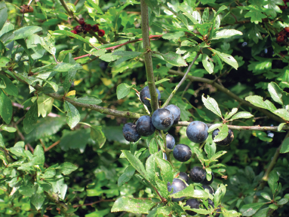 As black as any sloe
