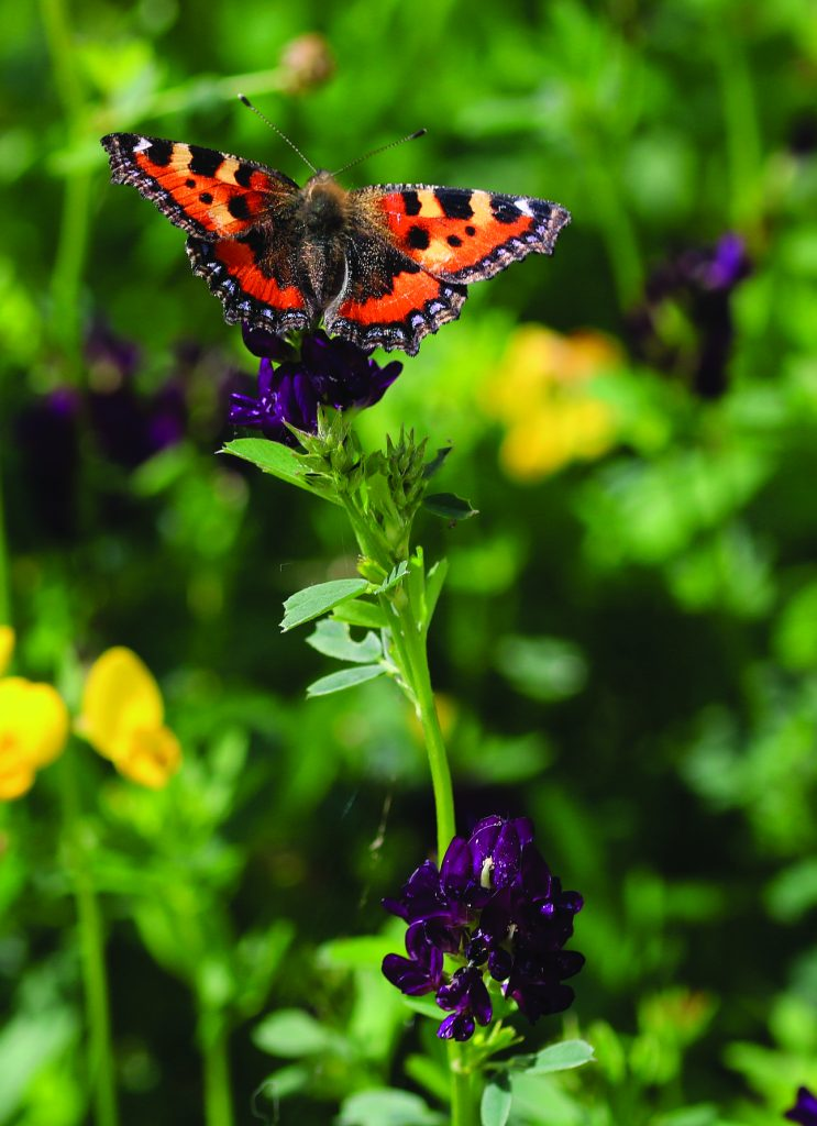 Small tortoiseshell butterfly on lucerne