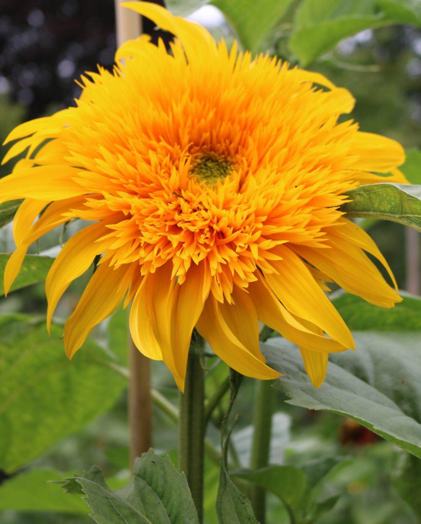 A Goldy Double sunflower.