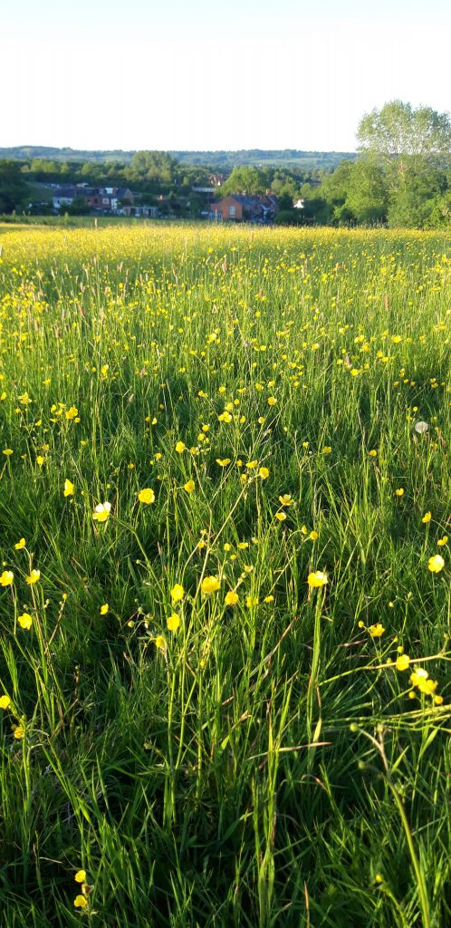 buttercups over Withybed