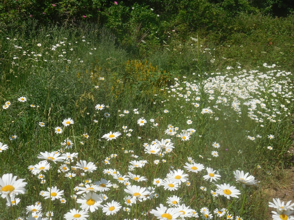 Wildflower patch at the end of Hewell Road, Barnt Green.